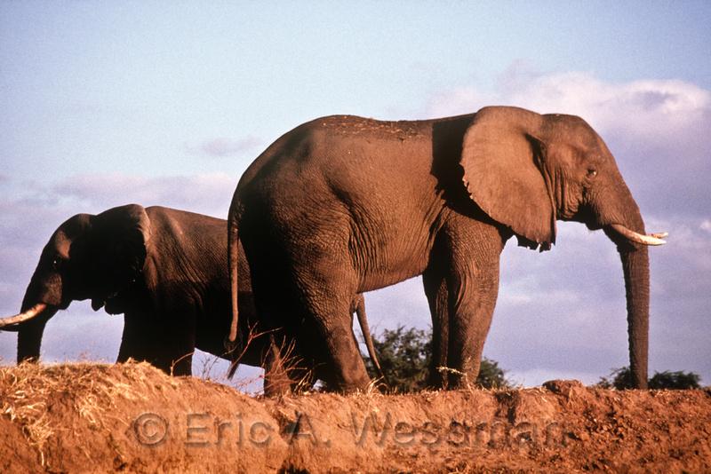 Elephants on bank of Zambesi River, Mana Pools National Park, Zimbabwe