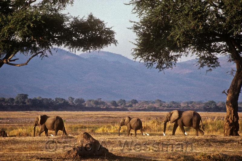 Elephants in savanna, Mana Pools National Park, Zimbabwe