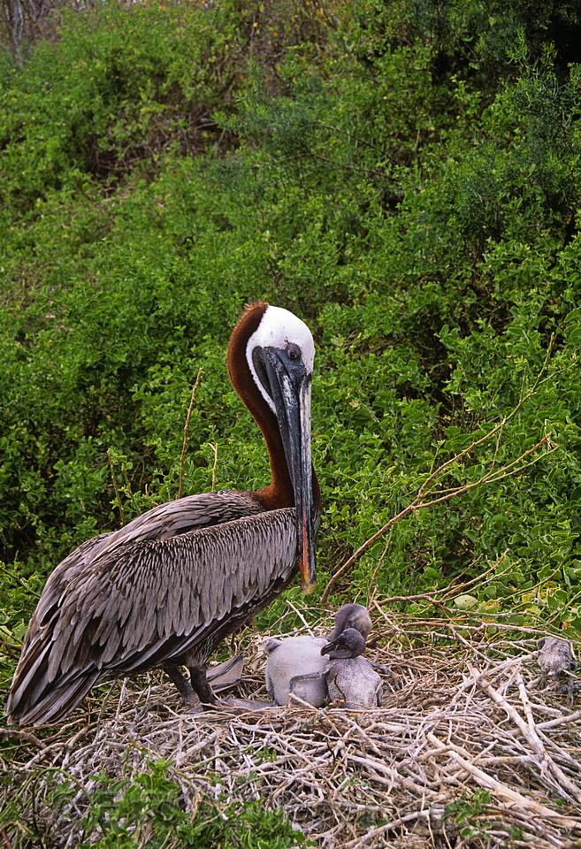 Brown Pelican (Pelecanus occidentalis) and chicks in nest, Galapagos National Park, Ecuador