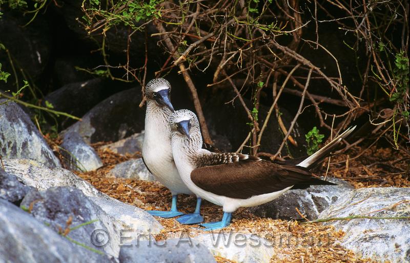Blue-footed booby (Sula nebouxii) pair, Isla Espanola. Galapagos National Park, Ecuador.