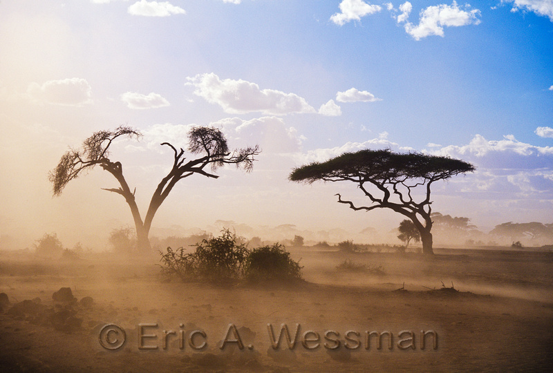 Acacia trees surrounded by dust in drought conditions, Amboseli National Park, Kenya.