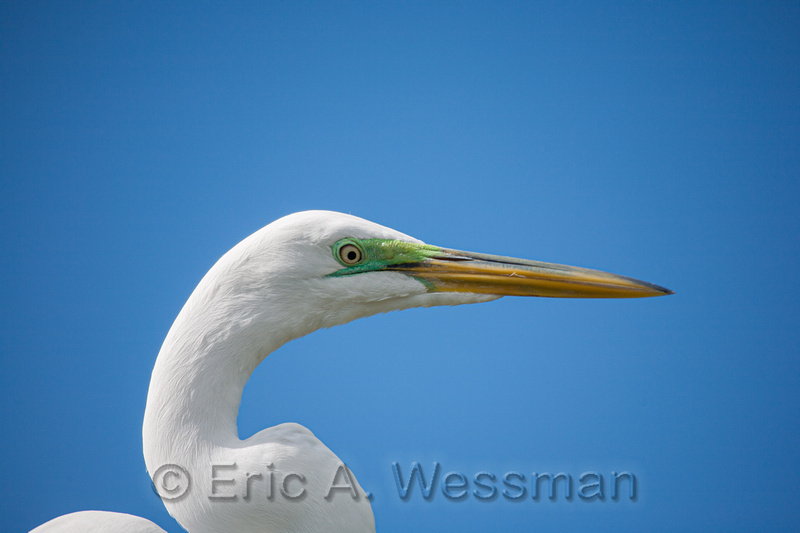 Great Egret Close-Up